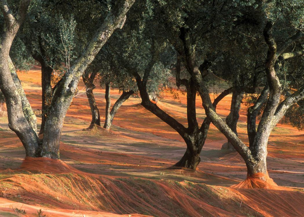 olives-filets
